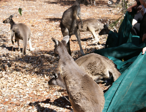Releasing the young kangaroos